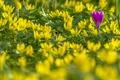 Картинка весна, крокус, боке, весенник зимующий