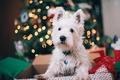 Картинка собака, шерсть, белая