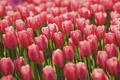 Картинка поле, цветы, Тюльпаны, field, flowers, tulips