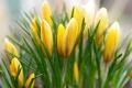 Картинка желтый, весна, крокусы, бутоны