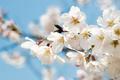 Картинка вишня, ветка, весна