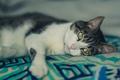 Картинка кошка, глаза, кот, шерсть, лежит