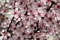 Картинка вишня, дерево, весна