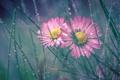 Картинка трава, капли, макро, роса, дуэт, маргаритки