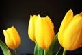 Картинка желтые, лепестки, тюльпаны