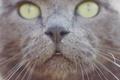 Картинка глаза, кот, усы, нос