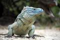 Картинка pose, reptile, blue iguana