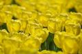 Картинка цветы, желтые, лепестки, тюльпаны