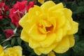 Картинка капли, роза, жёлтая