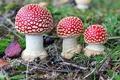 Картинка грибы, мухоморы, трио, поганки