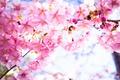 Картинка цветы, фон, красота, весна, лепестки, сакура, цветение