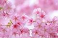 Картинка листья, ветки, весна, лепестки, сакура, цветение