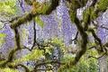 Картинка дерево, сиреневый, глициния, вистерия