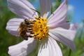 Картинка цветок, пчела, лепестки, насекомое, космея
