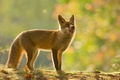 Картинка осень, природа, животное, лиса, лисица, боке