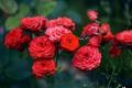 Картинка цветы, лепестки, красные