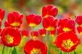 Картинка коллаж, тюльпаны, бутоны