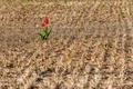 Картинка поле, цветы, природа, тюльпаны