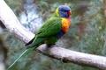 Картинка птица, ветка, попугай, боке, многоцветный лорикет