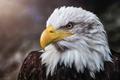 Картинка птица, портрет, белоголовый орлан