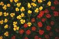 Картинка цветы, желтые, тюльпаны, красные