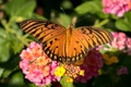 Картинка цветы, бабочка, крылья, насекомое, лантана