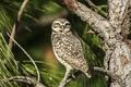 Картинка птица, сова, взгляд, лес