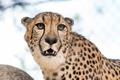 Картинка кошка, взгляд, фон, гепард