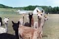 Картинка животные, шерсть, ламы