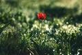 Картинка цветы, природа, тюльпан, боке