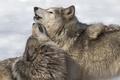 Картинка природа, фон, волки