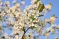 Картинка небо, свет, вишня, ветка, весна