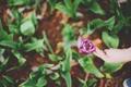 Картинка цветок, тюльпан, рука, лепестки