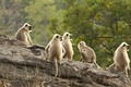 Картинка Индия, примат, Национальный парк Бандхавгарх, Мадхья-Прадеш, гульманы