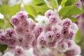Картинка макро, вишня, розовый, сакура