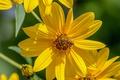 Картинка макро, пчела, лепестки, насекомое, Топинамбур