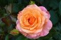 Картинка макро, розовый, роза, лепестки