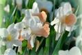 Картинка макро, весна, нарциссы
