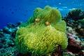 Картинка море, океан, кораллы, рыба-клоун, актиния