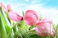 Картинка небо, трава, облака, капли, роса, тюльпаны, розовые