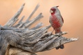 Картинка природа, птица, Cardinal
