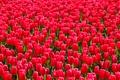 Картинка краски, весна, сад, луг, тюльпаны