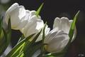 Картинка белый, тюльпаны, бутоны