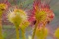Картинка растение, Канада, Британская Колумбия, росянка круглолистная, Принс-Руперт