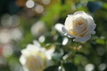 Картинка нежность, роза, бутон