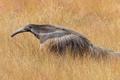 Картинка трава, природа, Бразилия, штат Минас-Жерайс, гигантский муравьед, Serra da Canastra National Park