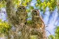 Картинка птицы, дерево, совы, парочка, на дереве, Пёстрая неясыть