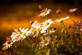 Картинка свет, хризантемы, бутончики