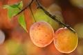 Картинка макро, ветка, ягода, фрукты, слива