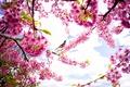 Картинка небо, птица, весна, лепестки, сакура, цветение